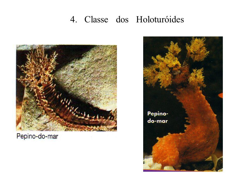 4. Classe dos Holoturóides