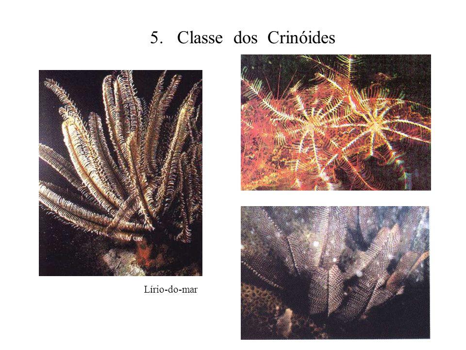 5. Classe dos Crinóides Lírio-do-mar