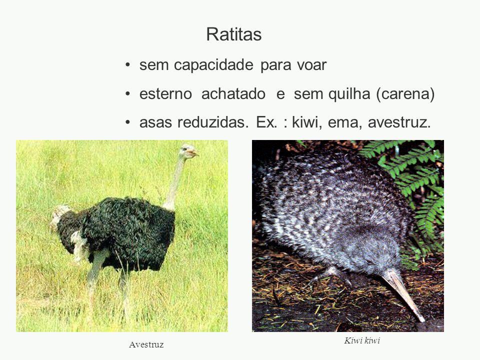 Ratitas sem capacidade para voar esterno achatado e sem quilha (carena) asas reduzidas. Ex. : kiwi, ema, avestruz. Kiwi kiwi Avestruz