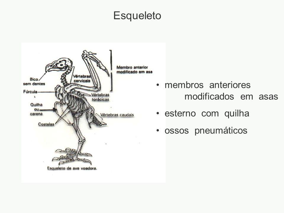 Esqueleto membros anteriores modificados em asas esterno com quilha ossos pneumáticos