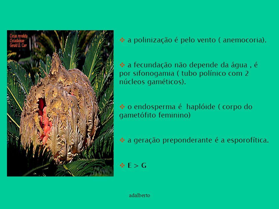 adalberto a polinização é pelo vento ( anemocoria). a fecundação não depende da água, é por sifonogamia ( tubo polínico com 2 núcleos gaméticos). o en