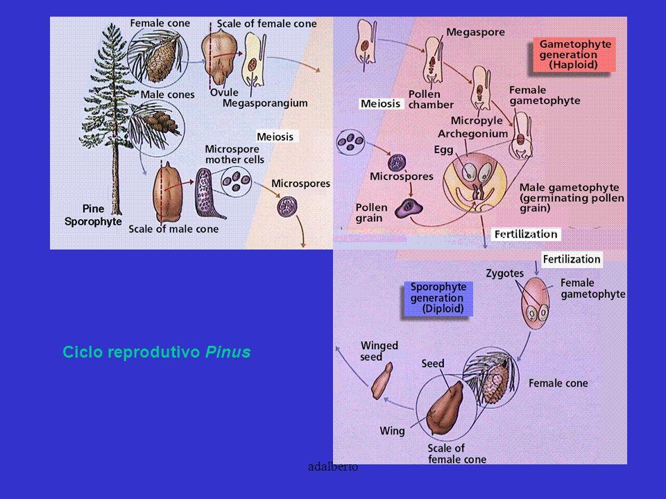adalberto Ciclo reprodutivo Pinus