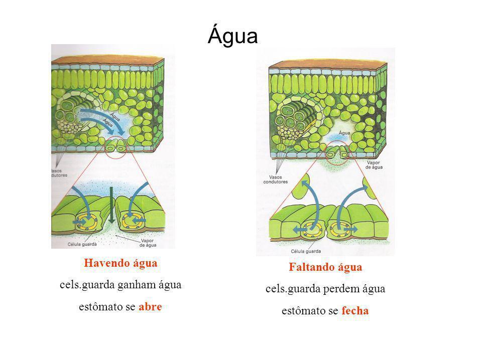 Água Havendo água cels.guarda ganham água estômato se abre Faltando água cels.guarda perdem água estômato se fecha