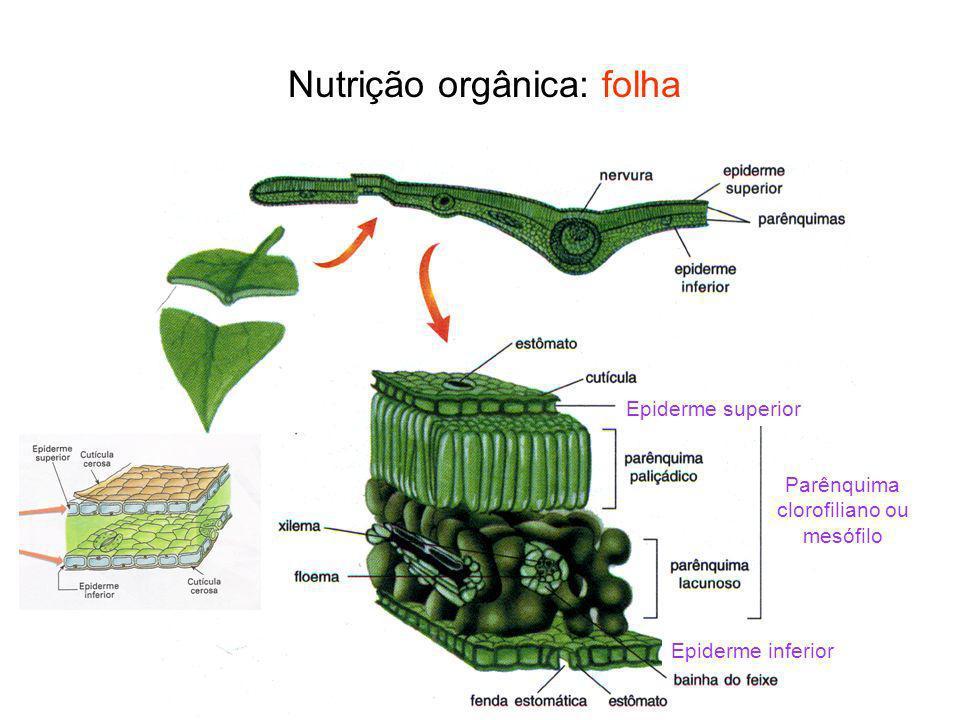 Trocas gasosas Folhas e alguns caules: estômatos Caule e raiz: lenticelas (também no súber)