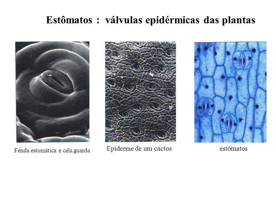 Estômatos : válvulas epidérmicas das plantas Epiderme de um cactos Fenda estomática e céls.guarda estômatos