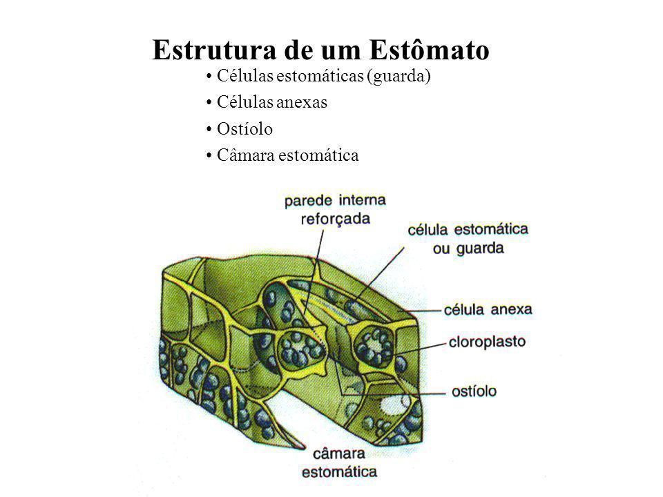 Estrutura de um Estômato Células estomáticas (guarda) Células anexas Ostíolo Câmara estomática