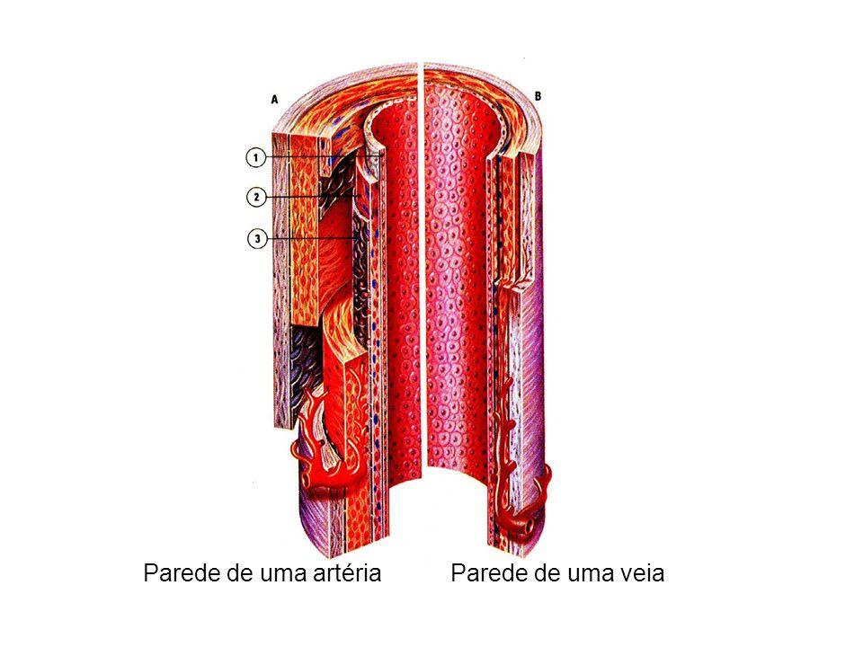 Parede de uma artériaParede de uma veia