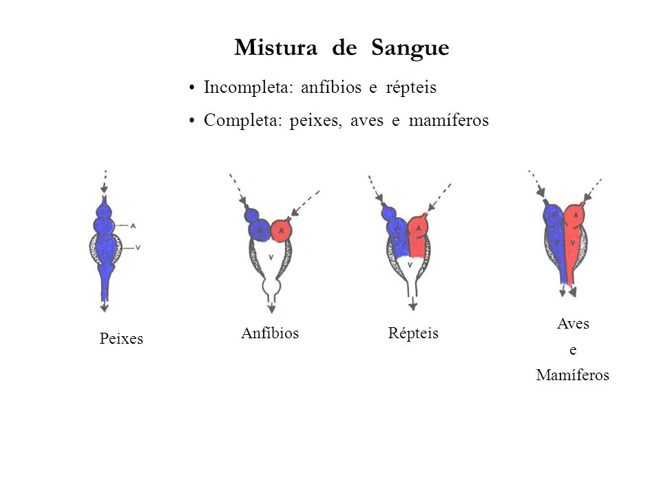 Mistura de Sangue Incompleta: anfíbios e répteis Completa: peixes, aves e mamíferos Peixes AnfíbiosRépteis Aves e Mamíferos
