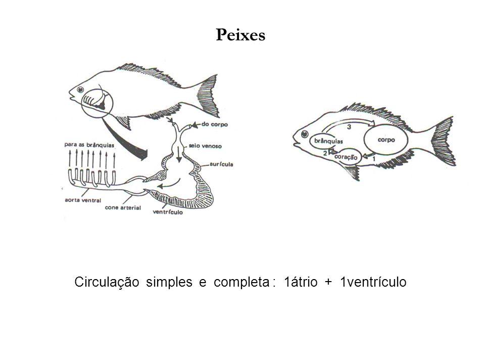 Peixes Circulação simples e completa : 1átrio + 1ventrículo