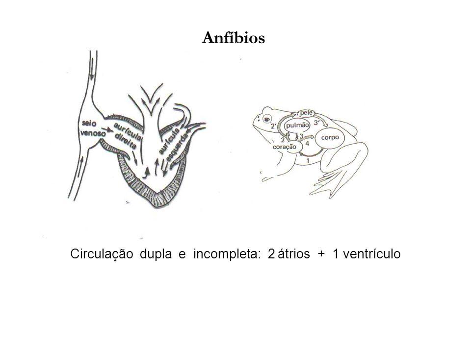 Anfíbios Circulação dupla e incompleta: 2 átrios + 1 ventrículo