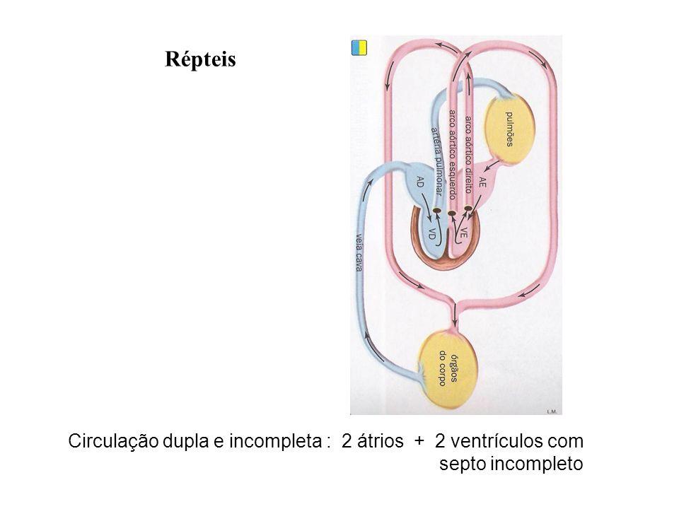 Circulação dupla e incompleta : 2 átrios + 2 ventrículos com septo incompleto Répteis