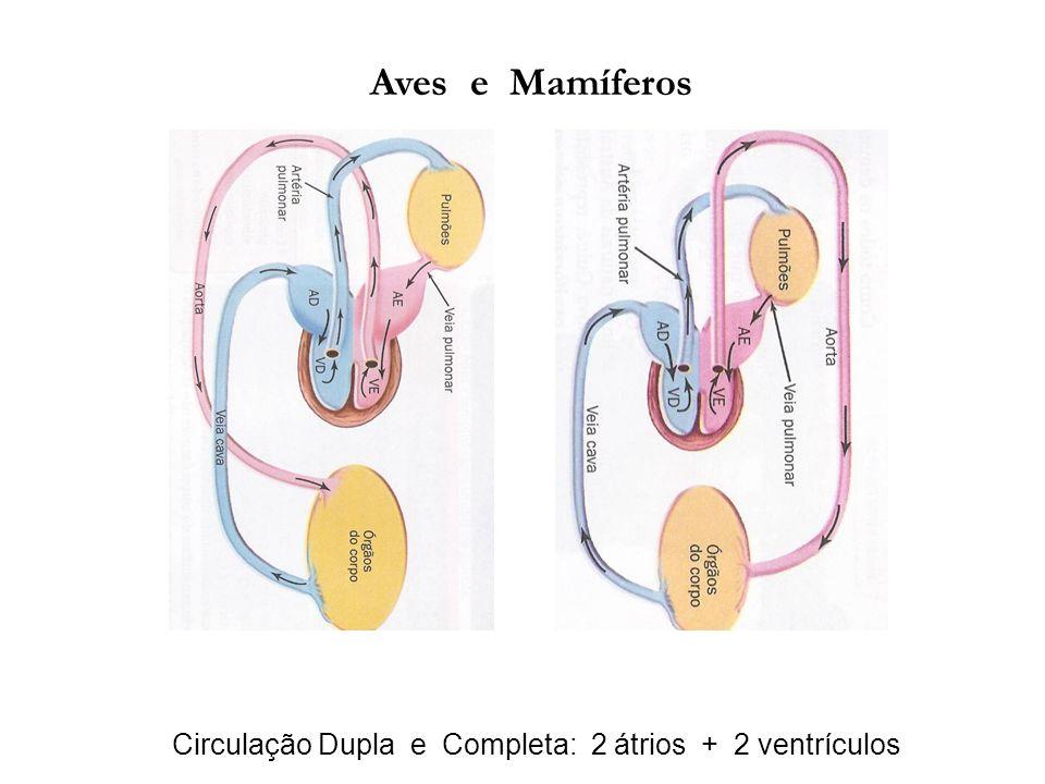 Aves e Mamíferos Circulação Dupla e Completa: 2 átrios + 2 ventrículos