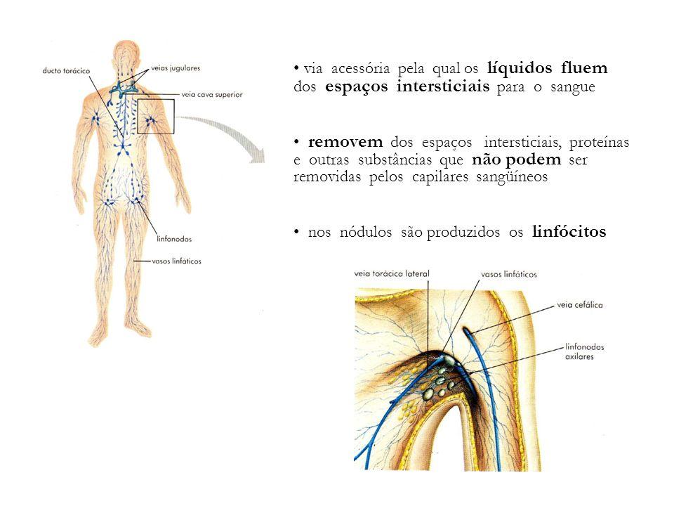 via acessória pela qual os líquidos fluem dos espaços intersticiais para o sangue removem dos espaços intersticiais, proteínas e outras substâncias qu