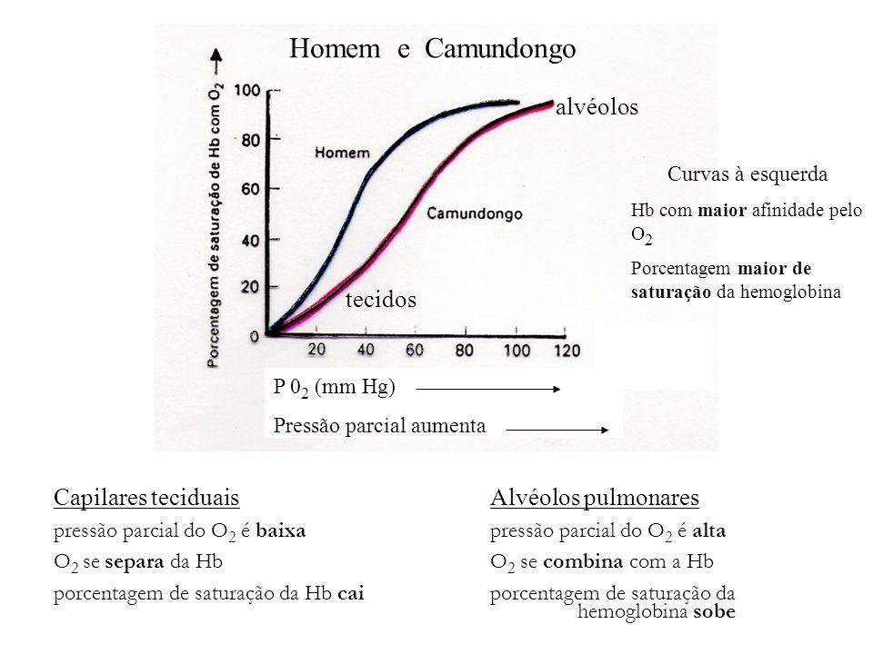 Homem e Camundongo P 0 2 (mm Hg) Pressão parcial aumenta Capilares teciduais Alvéolos pulmonares pressão parcial do O 2 é baixapressão parcial do O 2
