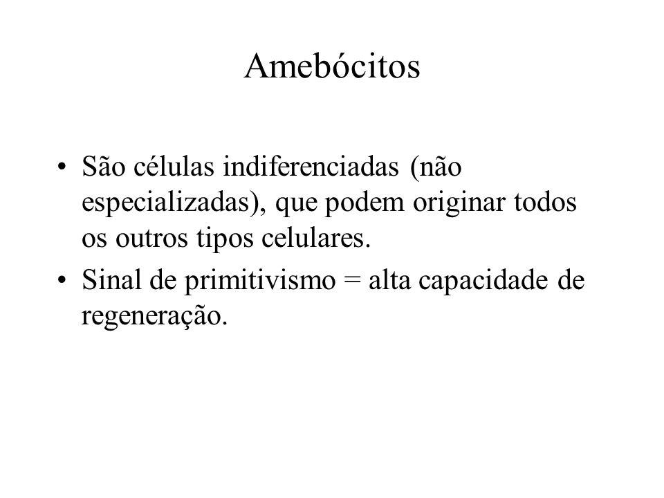 Amebócitos São células indiferenciadas (não especializadas), que podem originar todos os outros tipos celulares. Sinal de primitivismo = alta capacida