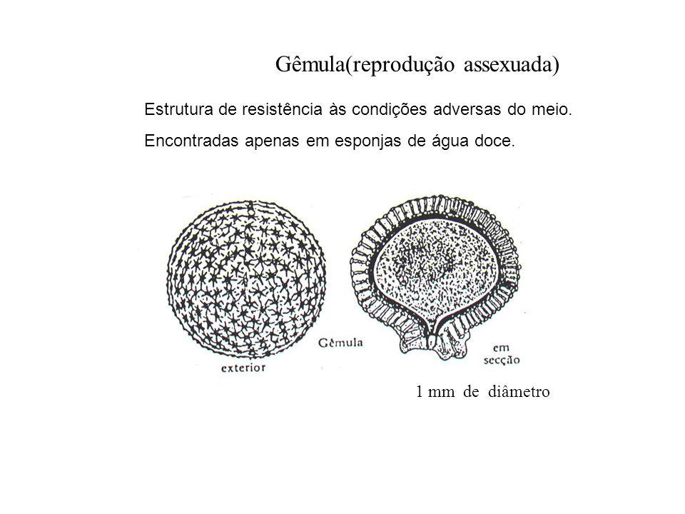 Gêmula(reprodução assexuada) 1 mm de diâmetro Estrutura de resistência às condições adversas do meio. Encontradas apenas em esponjas de água doce.