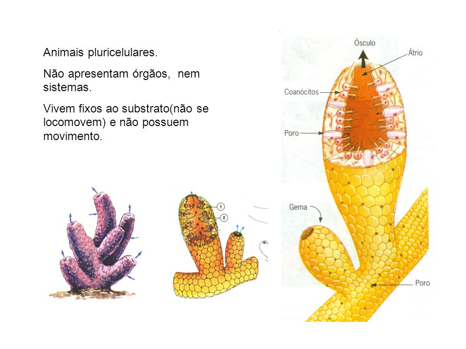 Animais pluricelulares. Não apresentam órgãos, nem sistemas. Vivem fixos ao substrato(não se locomovem) e não possuem movimento.