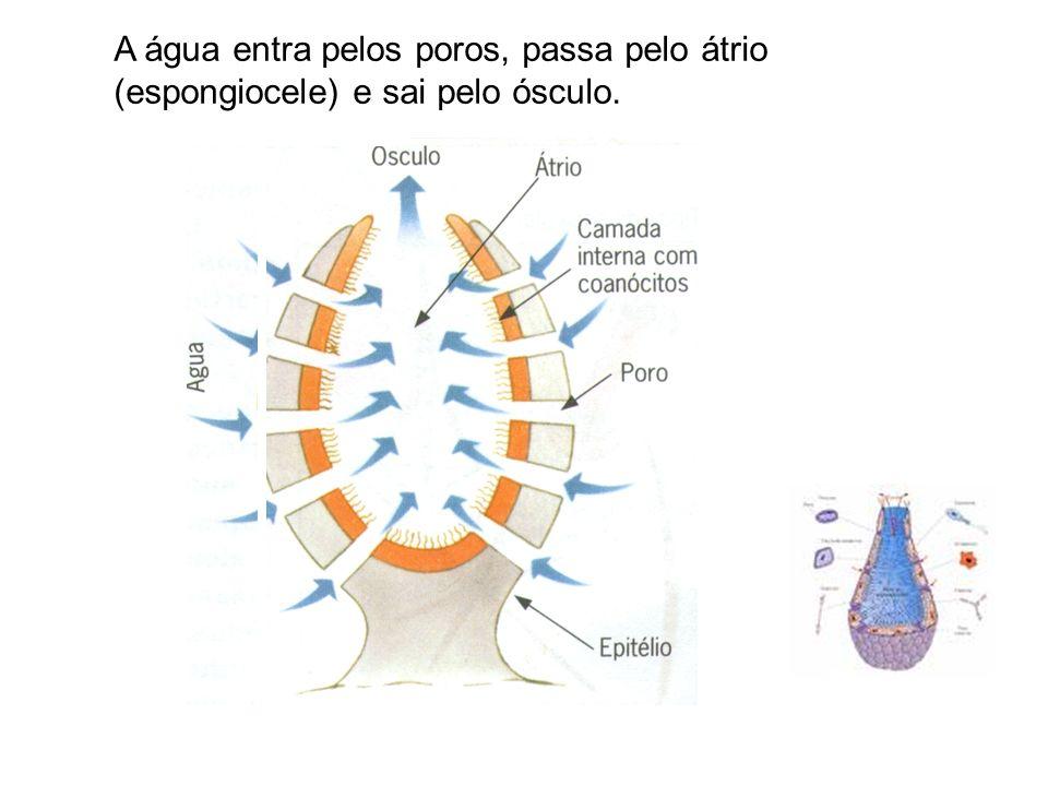 A água entra pelos poros, passa pelo átrio (espongiocele) e sai pelo ósculo.