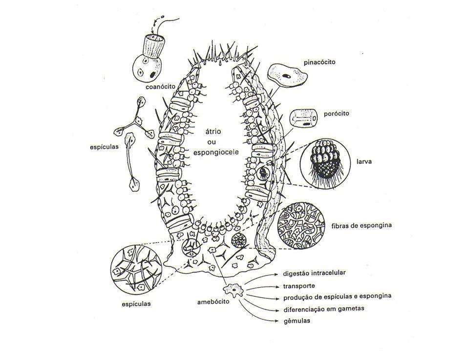 Amebócitos São células indiferenciadas (não especializadas), que podem originar todos os outros tipos celulares.