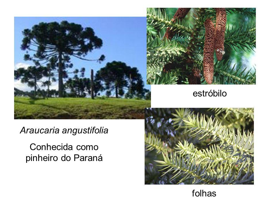 Araucaria angustifolia Conhecida como pinheiro do Paraná folhas estróbilo