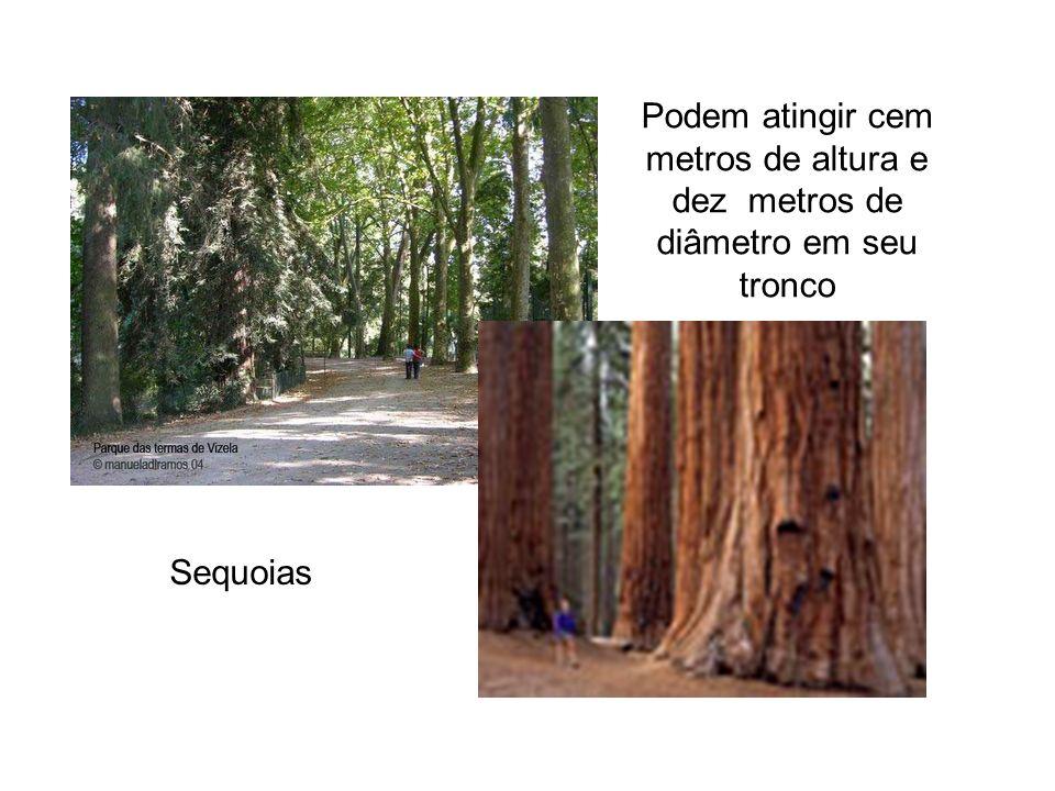 Podem atingir cem metros de altura e dez metros de diâmetro em seu tronco