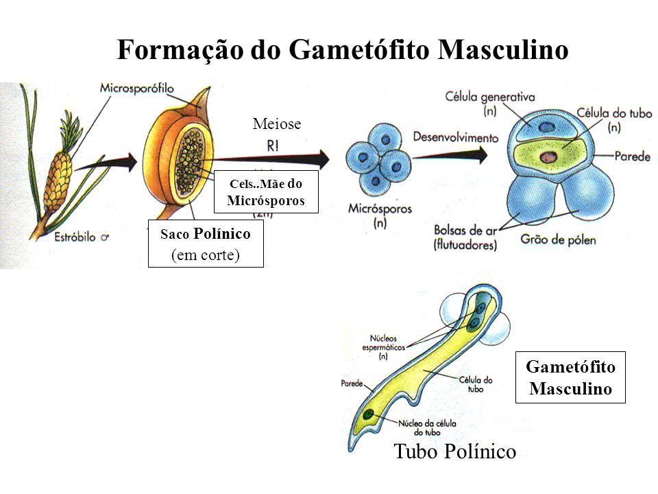 Cels..Mãe do Micrósporos Saco Polínico (em corte) Meiose Formação do Gametófito Masculino Gametófito Masculino Tubo Polínico