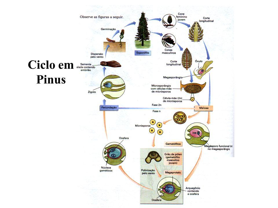 Ciclo em Pinus