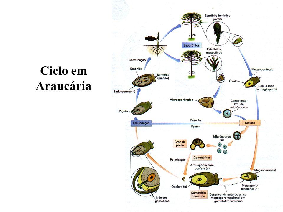 Ciclo em Araucária
