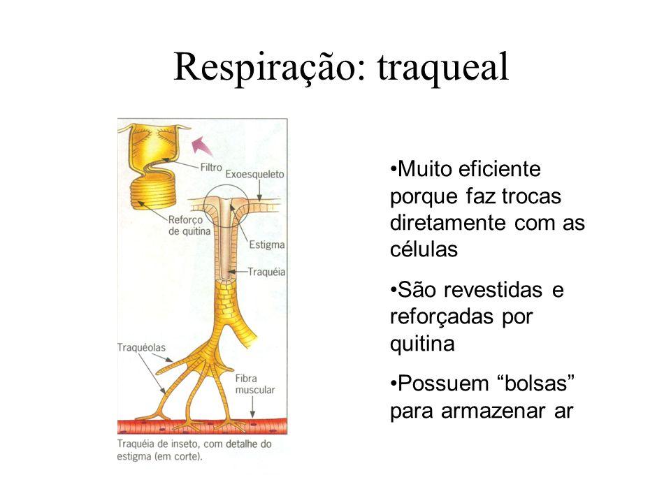 Respiração: traqueal Muito eficiente porque faz trocas diretamente com as células São revestidas e reforçadas por quitina Possuem bolsas para armazenar ar