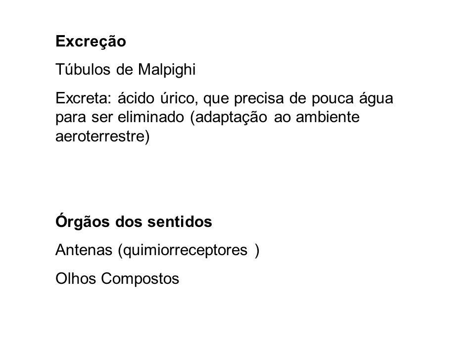 Excreção Túbulos de Malpighi Excreta: ácido úrico, que precisa de pouca água para ser eliminado (adaptação ao ambiente aeroterrestre) Órgãos dos sentidos Antenas (quimiorreceptores ) Olhos Compostos