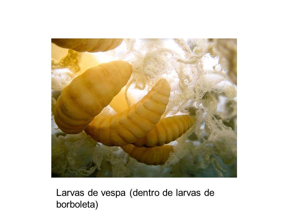 Larvas de vespa (dentro de larvas de borboleta)
