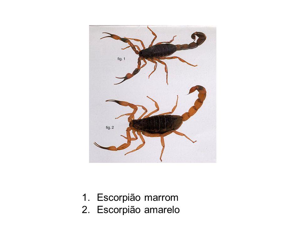 1.Escorpião marrom 2.Escorpião amarelo