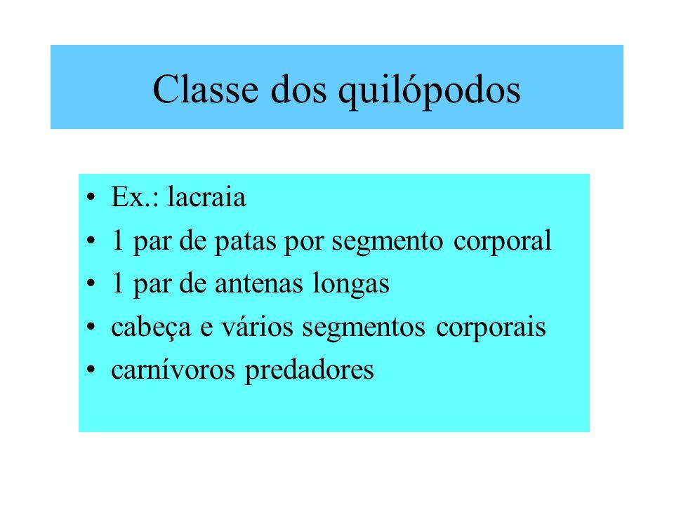 Classe dos quilópodos Ex.: lacraia 1 par de patas por segmento corporal 1 par de antenas longas cabeça e vários segmentos corporais carnívoros predadores