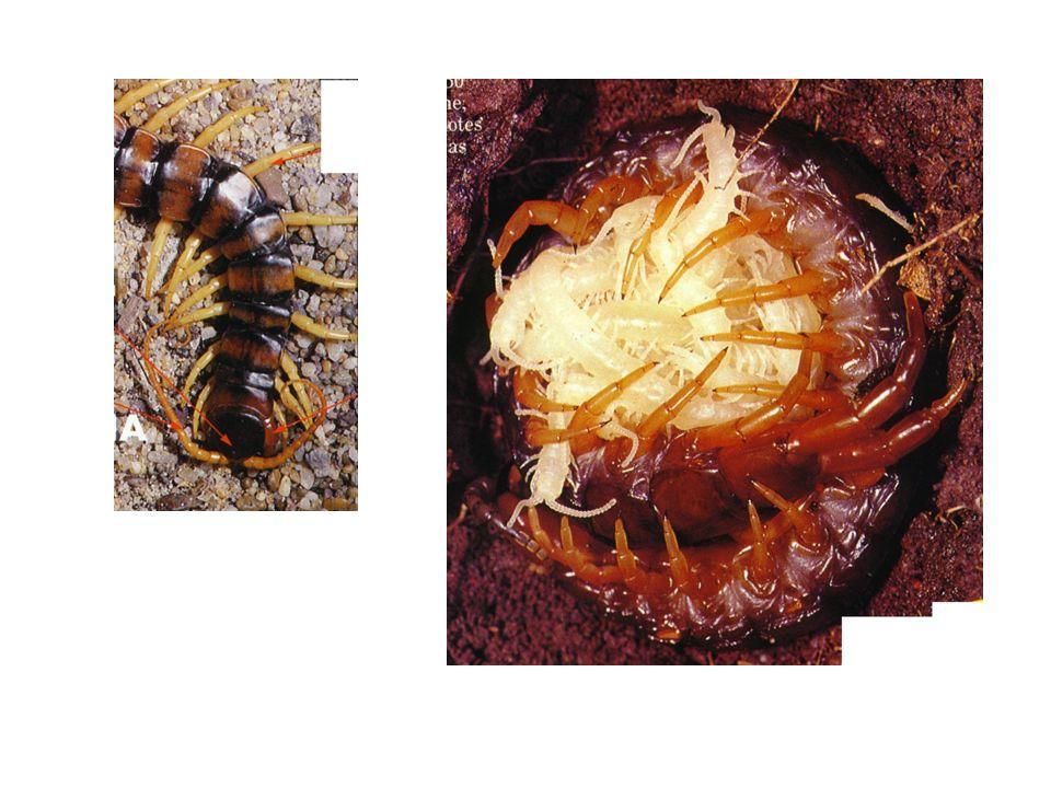 Classe dos diplópodos Ex: piolho de cobra 2 pares de patas por segmento do corpo 1 par de antenas curtas cabeça e vários segmentos corporais herbívoros enrolam em espiral quando molestados