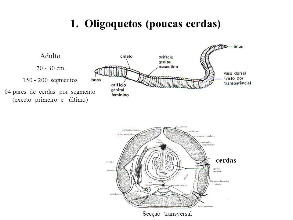 1. Oligoquetos (poucas cerdas) Secção transversal cerdas Adulto 20 - 30 cm 150 - 200 segmentos 04 pares de cerdas por segmento (exceto primeiro e últi