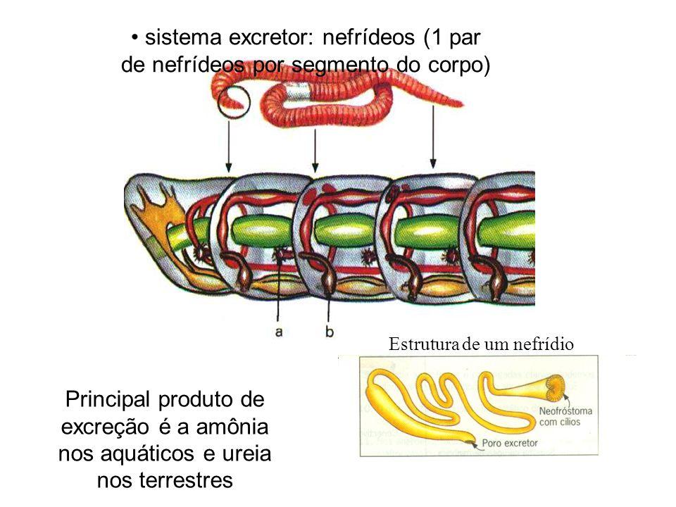 sistema excretor: nefrídeos (1 par de nefrídeos por segmento do corpo) Principal produto de excreção é a amônia nos aquáticos e ureia nos terrestres E