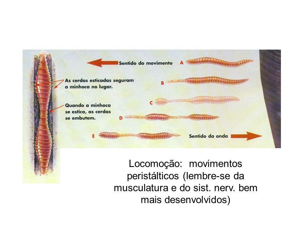 Locomoção: movimentos peristálticos (lembre-se da musculatura e do sist. nerv. bem mais desenvolvidos)