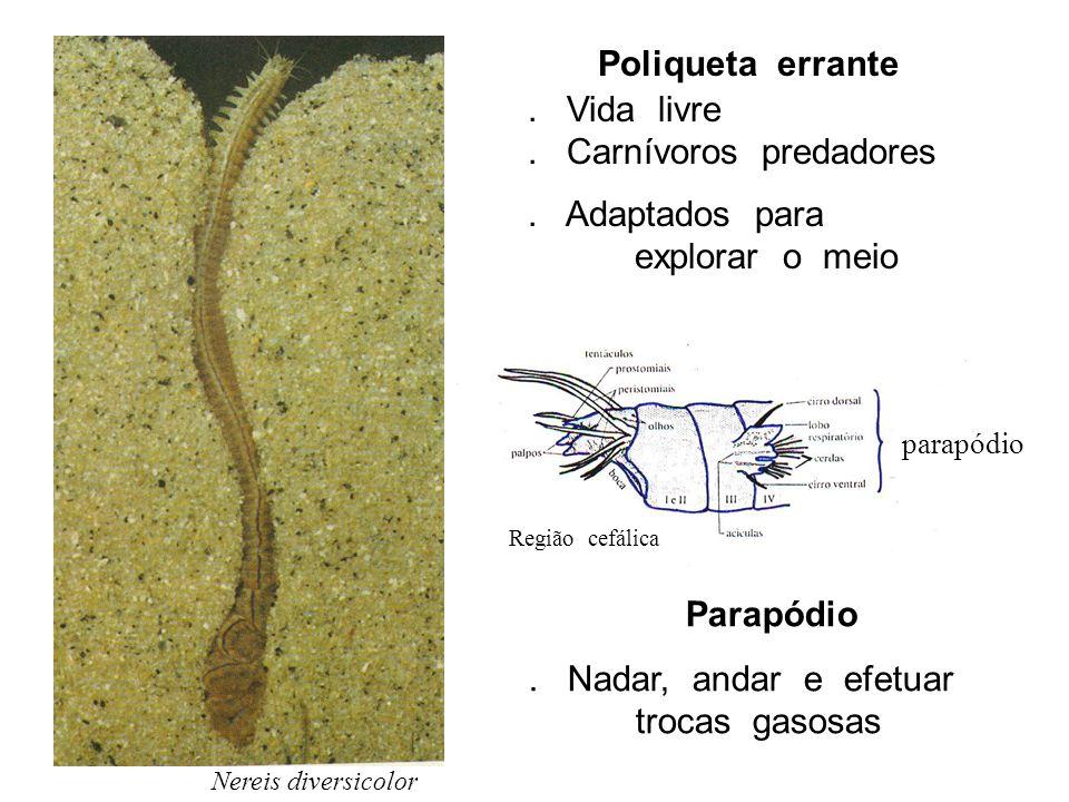 Nereis diversicolor Poliqueta errante. Vida livre. Carnívoros predadores. Adaptados para explorar o meio parapódio Região cefálica Parapódio. Nadar, a