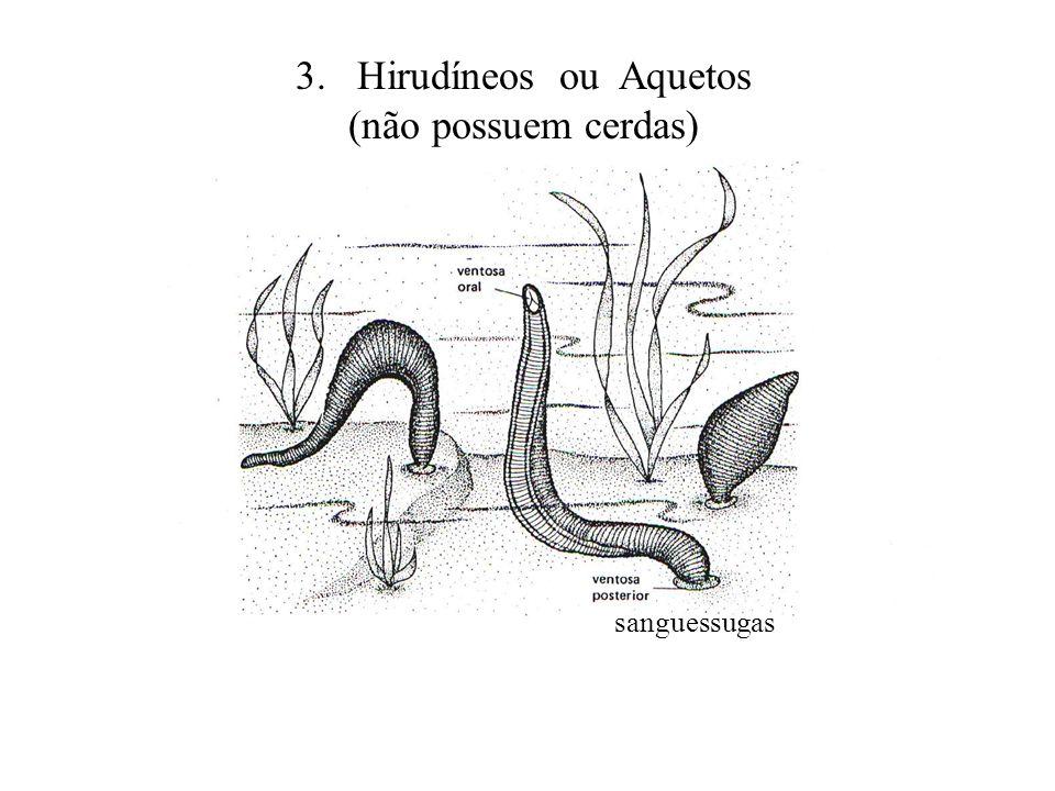 3. Hirudíneos ou Aquetos (não possuem cerdas) sanguessugas