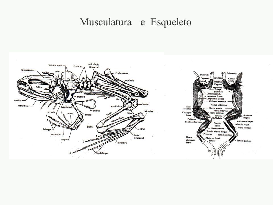 adalberto Musculatura e Esqueleto