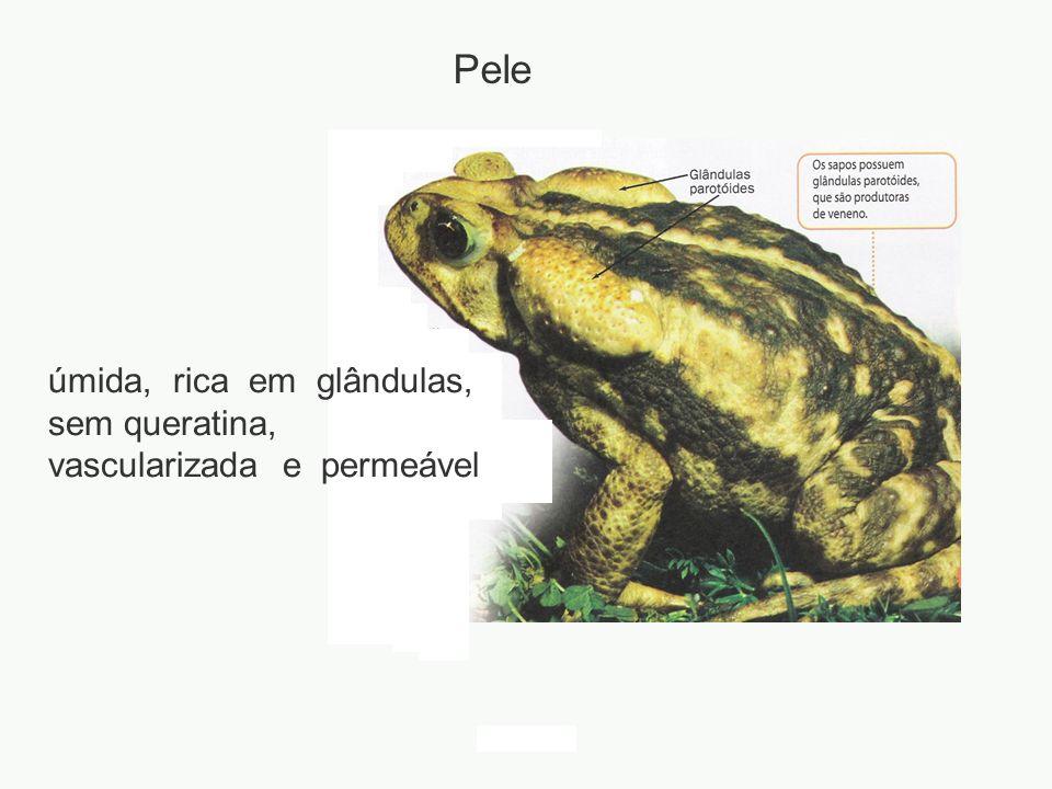 adalberto úmida, rica em glândulas, sem queratina, vascularizada e permeável Pele