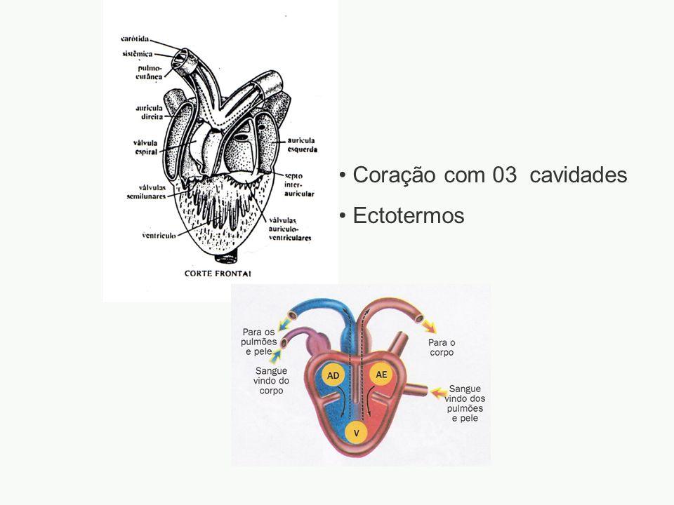adalberto Coração com 03 cavidades Ectotermos