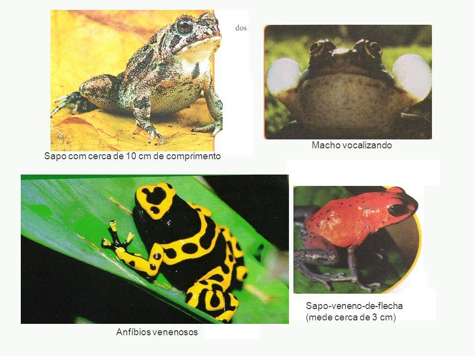 adalberto Sapo com cerca de 10 cm de comprimento Macho vocalizando Sapo-veneno-de-flecha (mede cerca de 3 cm) Anfíbios venenosos