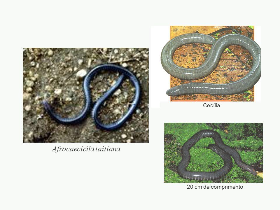 adalberto Salamandras Pode ocorrer: Pedomorfismo embora adultas, conservam características de jovens (=larvas) não completam sua metamorfose Neotenia tornam-se sexualmente maduras, antes de completar metamorfose.