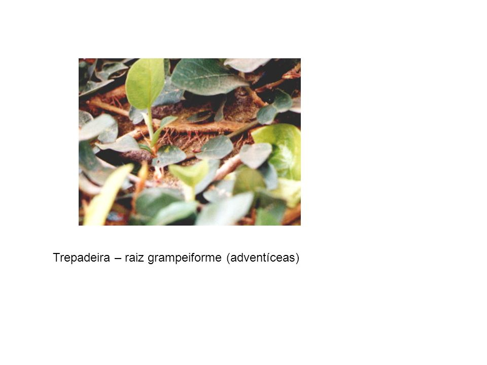 Trepadeira – raiz grampeiforme (adventíceas)