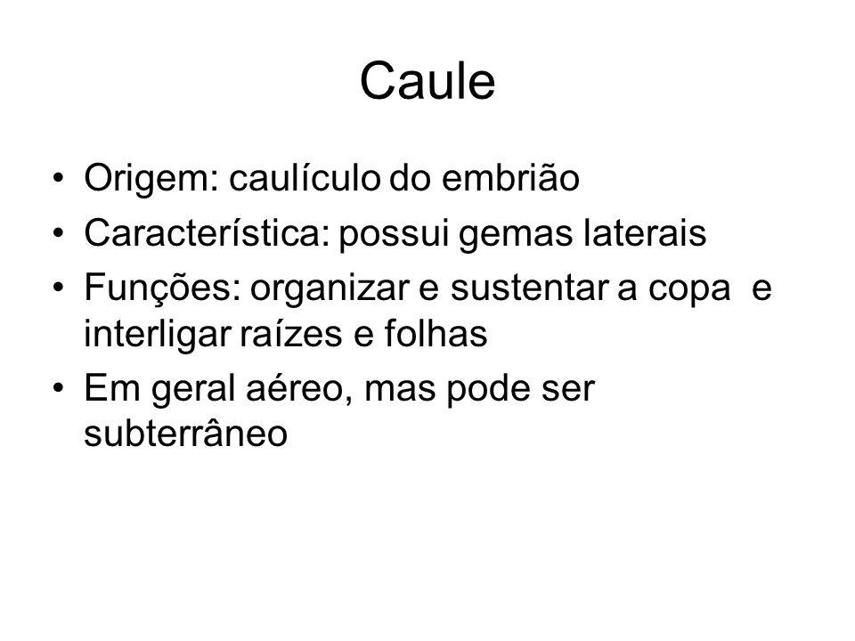 Caule Origem: caulículo do embrião Característica: possui gemas laterais Funções: organizar e sustentar a copa e interligar raízes e folhas Em geral aéreo, mas pode ser subterrâneo