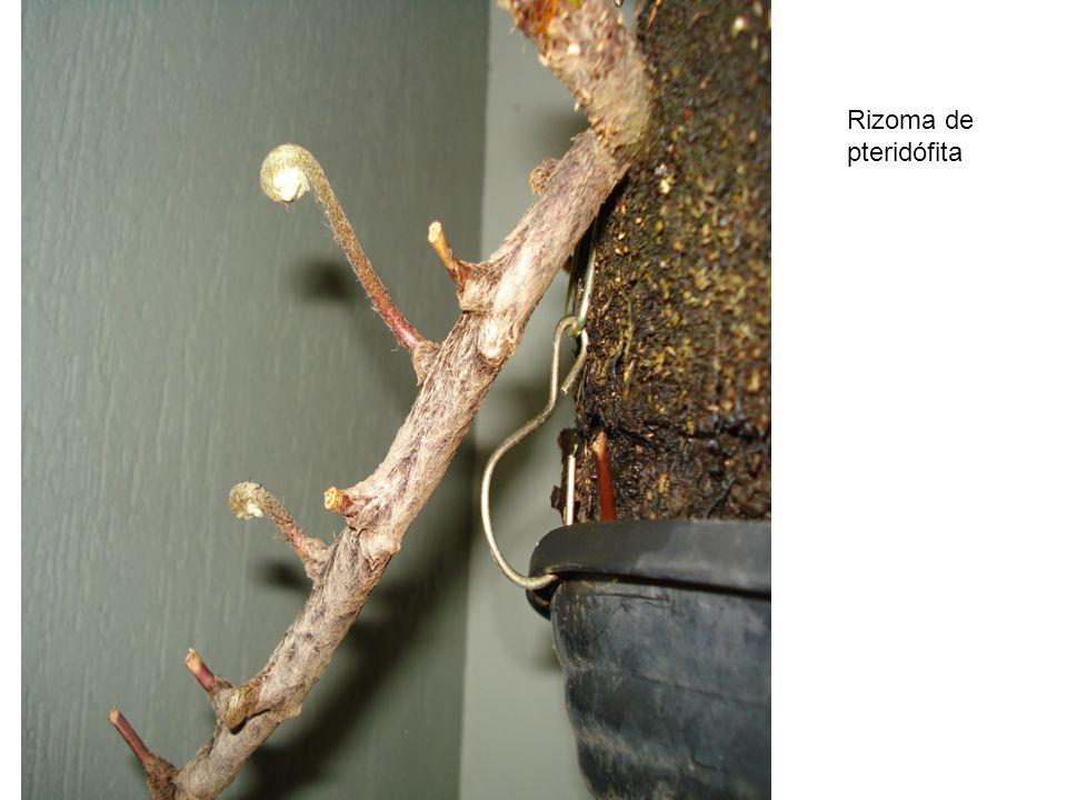 Rizoma de pteridófita
