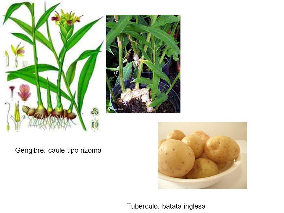Gengibre: caule tipo rizoma Tubérculo: batata inglesa