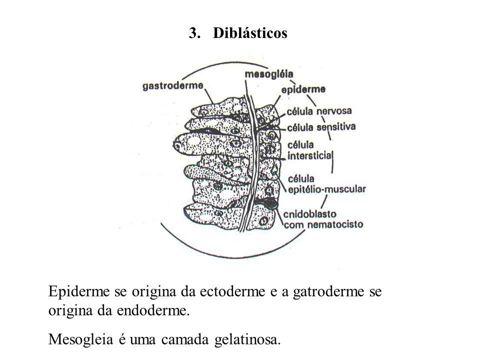 3. Diblásticos Epiderme se origina da ectoderme e a gatroderme se origina da endoderme. Mesogleia é uma camada gelatinosa.