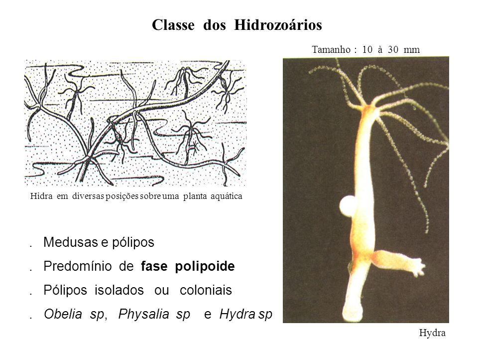 Classe dos Hidrozoários Hidra em diversas posições sobre uma planta aquática Hydra. Medusas e pólipos. Predomínio de fase polipoide. Pólipos isolados